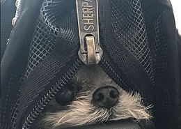 dogs in Sherpa bags