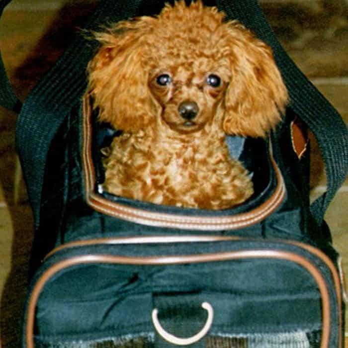 Jojo the dog in a SHERPA bag