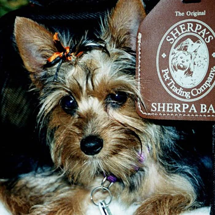 Summer the dog in a SHERPA bag
